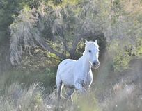 Portrait of the White Camargue Horse Royalty Free Stock Image