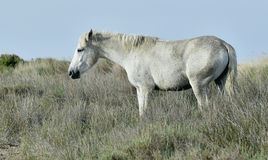 Portrait of the White Camargue Horse Royalty Free Stock Photo