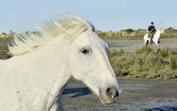 Portrait of the White Camargue Horse Stock Image