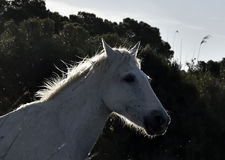 Portrait of the White Camargue Horse Royalty Free Stock Photography
