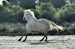Portrait of the White Camargue Horse Stock Photos