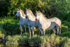 Portrait of the White Camargue Horses on the natural green background. Stock Photo