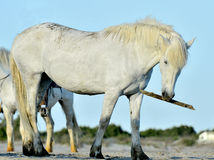 Portrait of the White Camargue Horses Royalty Free Stock Photo