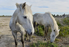 Portrait of the White Camargue Horses Stock Images
