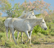 Portrait of the White Camargue Horses Stock Photo