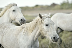 Portrait of the White Camargue Horses Royalty Free Stock Image