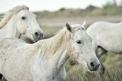 Portrait of the White Camargue Horses Royalty Free Stock Image