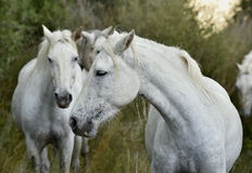 Portrait of the White Camargue Horses Stock Photography