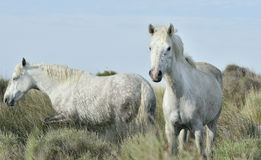 Portrait of the White Camargue Horses Royalty Free Stock Photo