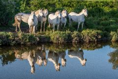 Portrait of the White Camargue Horses reflected in the water. Royalty Free Stock Images