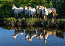 Portrait of the White Camargue Horses reflected in the water. Stock Photography