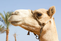 Portrait of  white camel Stock Photo