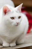 Portrait of a white cat Stock Images