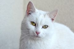 Portrait white cat Royalty Free Stock Images