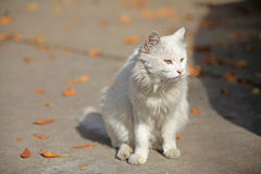 Portrait of white cat Stock Photography