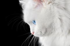 Portrait of a white cat Royalty Free Stock Image