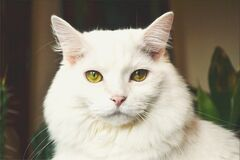 Portrait of white cat Royalty Free Stock Image