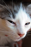Portrait of a white cat with black spots, angry with half-closed. Eyes, pink nose and long whiskers stock photos