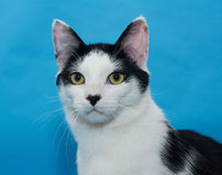 Portrait of white cat with black spots on blue Royalty Free Stock Photography