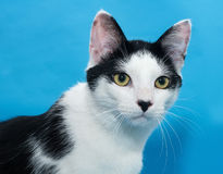 Portrait of white cat with black spots on blue Royalty Free Stock Photos