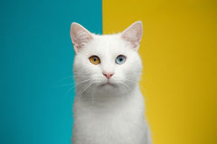 Portrait of White Cat on Blue and Yellow Background Stock Image
