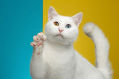 Portrait of White Cat on Blue and Yellow Background Stock Images