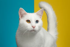 Portrait of White Cat on Blue and Yellow Background Royalty Free Stock Photos