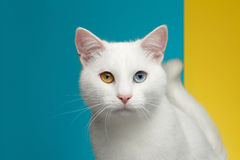 Portrait of White Cat on Blue and Yellow Background Stock Photos