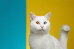 Portrait of White Cat on Blue and Yellow Background Royalty Free Stock Images