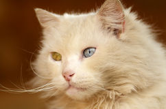 Portrait of white cat with one blue eye and one green eye. Portrait of a cat with one blue eye and one green eye Royalty Free Stock Photos
