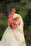 Portrait of a white chicken Royalty Free Stock Photos