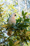 Portrait of white cockatoo sitting on a tree. Royalty Free Stock Photos
