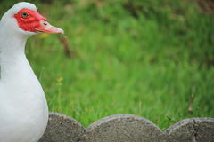 Portrait of white colorful domestic muscovy duck in garden looking at camera Royalty Free Stock Images