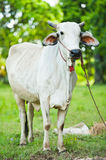 Portrait of a white cow Stock Images