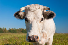 Portrait of a white cow in a Dutch meadow Royalty Free Stock Image