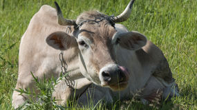 Portrait white cow green grass. Medium shot white cow laying sunny day green meadow Stock Image