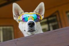 Portrait of white cross-breed dog in chameleon sunglasses Stock Photo