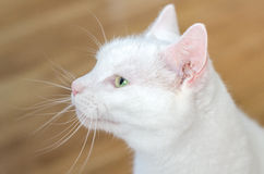 Portrait of white cute cat Royalty Free Stock Photography