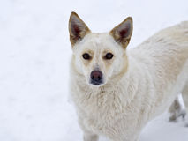 Portrait of a white  dog. Cute white  dog looking at the camera Stock Photography