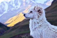 Portrait of a white dog on a background of mountains
