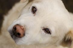 Portrait of white dog with a deep look. Close-up, brown eyes Royalty Free Stock Photo