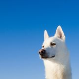 Portrait of a white dog Royalty Free Stock Image