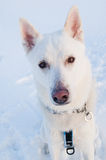 Portrait of a white dog in winter Royalty Free Stock Image