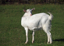 Portrait of white domestic goat Royalty Free Stock Photography
