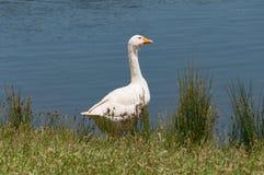 Portrait of white domestic goose bird near the pond, lake. Domestic fowl near the water outdoor rural scene landscape stock photo