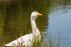 Portrait of white domestic goose bird near the pond, lake. Domestic fowl near the water outdoor rural scene landscape royalty free stock images