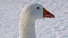 Portrait of a white domestic goose stock video