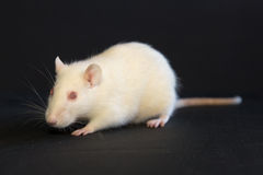 Portrait of a white domestic rat Royalty Free Stock Photo