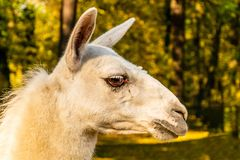 Portrait of a white domesticated lama on the farm stock photos