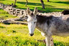 Portrait of white donkey at countryside Stock Photo